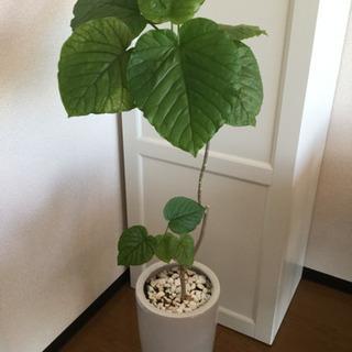 おしゃれな観葉植物 ウンベラータ 鉢つき  インテリア
