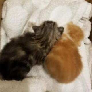 里親決定【至急】生後2週間の子猫2匹
