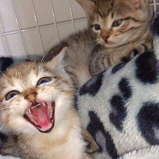 8月17日産まれの子猫二匹の里親さん募集
