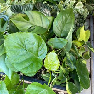 観葉植物 各種!激安です!ひと苗150円
