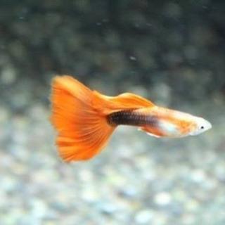 タキシードグッピー 若魚8匹②