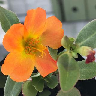 お花ポーチュラカオレンジ苗