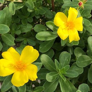 お花ポーチュラカ黄色小苗