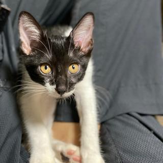 生後5ヶ月の白黒鍵しっぽ猫♂