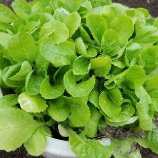 白菜の苗2