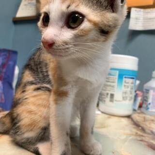 生後2ヶ月 三毛猫女の子です😺