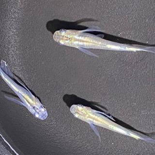 🌾鱂(めだか)鰭長系体外光系(中光)準成魚1日(木)限定の画像