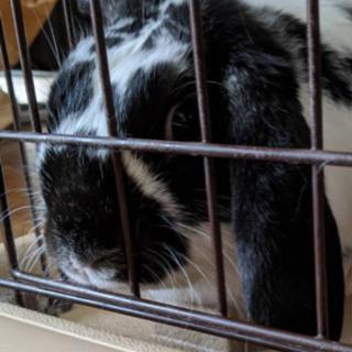 ホーランドロップ(ウサギ)