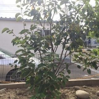 ★☆★柿の木★☆★