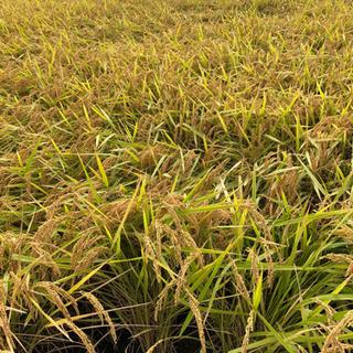 令和2年新米きぬむすめ玄米