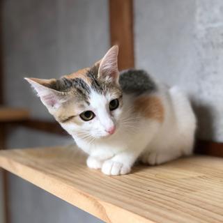 No.147 白多めの三毛猫