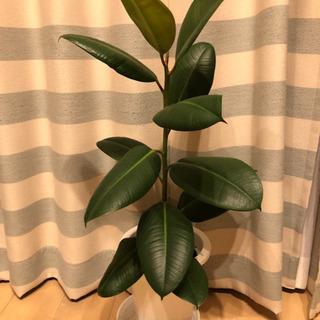 ☆大人気☆観葉植物フィカスバーガンディ(78cm)