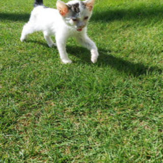 【里親募集】エンジンルームに居た白黒仔猫保護しました - 里親募集