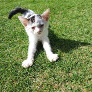 【里親募集】エンジンルームに居た白黒仔猫保護しました − 愛知県