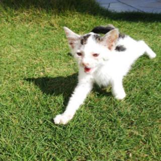【里親募集】エンジンルームに居た白黒仔猫保護しました - 一宮市