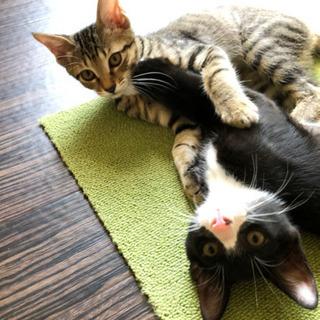 生後3ヶ月 兄妹猫 里親募集
