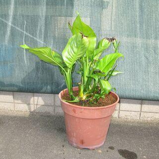 観葉植物「スパティフィラム」差し上げます。