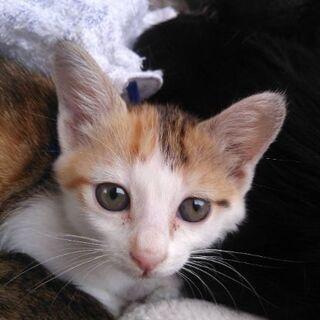 生後3ヶ月半位 とっても人懐っこい三毛猫ちゃん