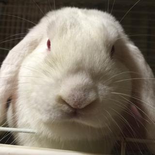 ウサギ オス 5歳 ホーランドロップイヤー