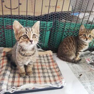子猫の里親募集(生後2ヶ月)