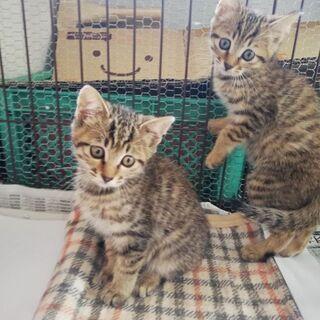 子猫の里親募集(生後2ヶ月) - 猫