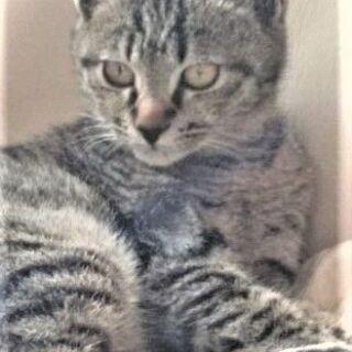 保護猫1歳【サーちゃん】日本猫のルーツ「キジトラ」の里親さんにな...