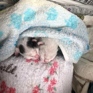 4匹の産まれたて子猫 - 猫