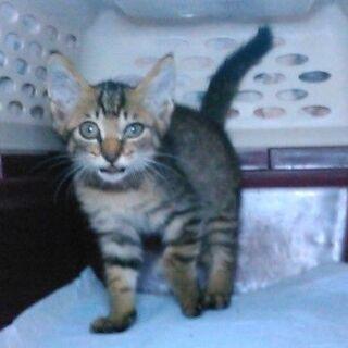 2か月子猫 緊急募集