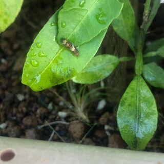 ナミアゲハの幼虫もらってください。