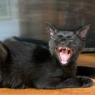 お髭が一本白い黒猫さんです♪ - 里親募集