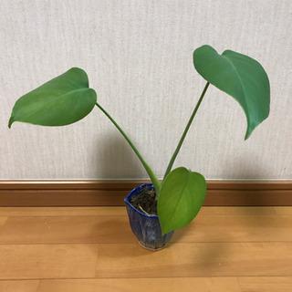 モンステラ(葉が割れないタイプ)小サイズ