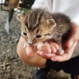 生後2週間ほどの子猫の里親募集