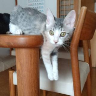 グレーの毛並みがかわいい女の子の猫ちゃんです