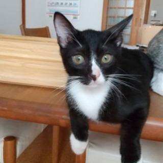 【ハチワレ猫ちゃん】可愛い女の子の猫ちゃんです。