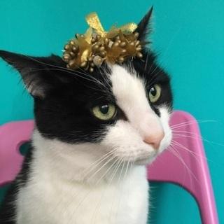 フランスからやって来たハチワレ猫、こうめ11歳🇫🇷🇯🇵