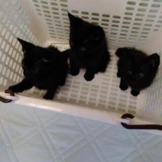 [里親決定しました]里親募集 生後約40日くらいの黒猫3匹…
