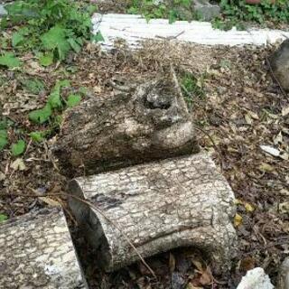 巨大薪丸太 落葉広葉樹