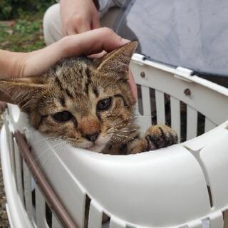 甘えん坊君犬OK!のなつこい子猫 - 吉野川市