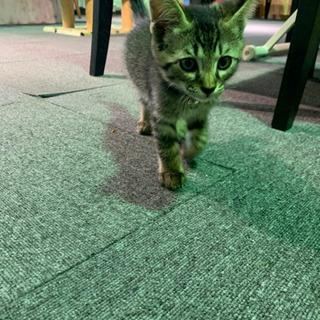猫の里親さん募集中❣️生後約1ヶ月の男の子🐱