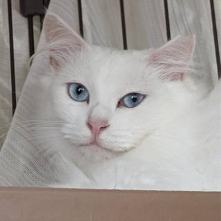 【お話中】真っ白ブルーアイ長毛猫