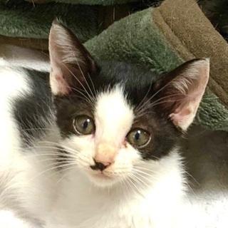 ちっこいハチワレ子猫です♪ − 愛知県