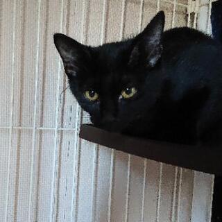 生後5ヶ月くらいの♂の黒猫です🎵