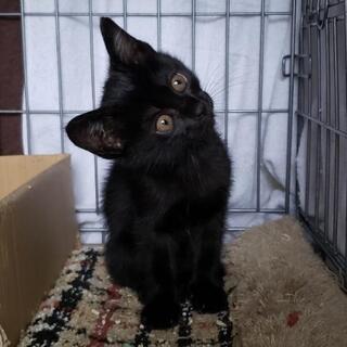 【募集!】生後1ヶ月の黒猫くん♂🎃💜