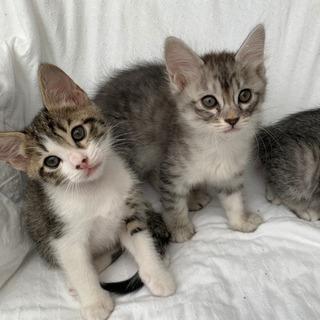 ※再募集【室内育ち】子猫の里親募集します。