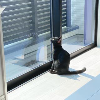 生後6ヶ月の黒猫 - 刈谷市