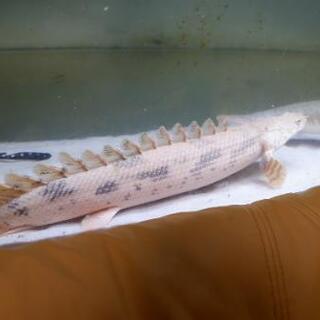 ポリプテルス エンドリケリー 40㎝オーバー 熱帯魚 大型…