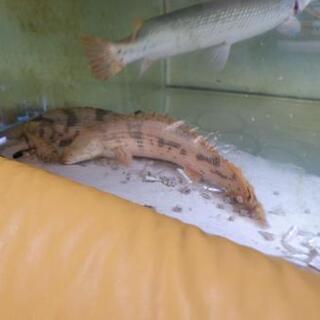 ポリプテルス エンドリケリー 40㎝オーバー 熱帯魚 大型魚 古代魚 ② - 黒部市