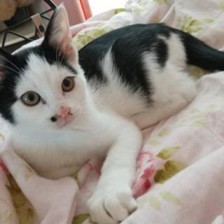 ハチワレの可愛い男の子猫!ホクロみたいな模様がチャームポイントです。