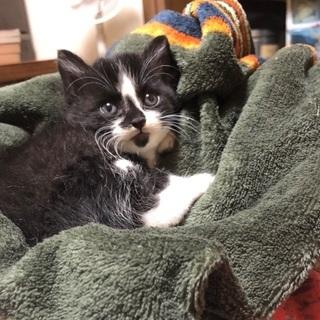 生後2週間 子猫の里親募集します 石川県