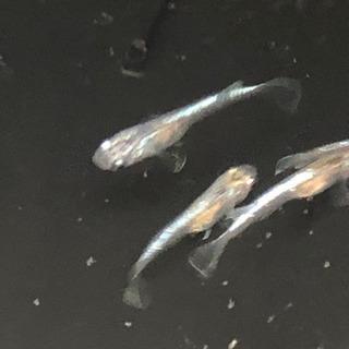 燐光メダカロングフィンメダカの卵10個+α(20個前後)